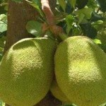 The Benefits of Jackfruit