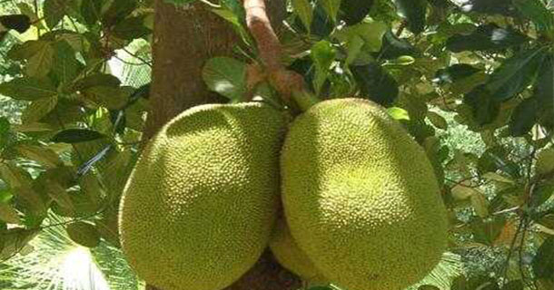 Benefits-of-Jackfruit
