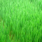 The Benefits of Wheatgrass for Health