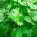 The 13 Health Benefits Of Coriander Leaves