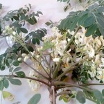 Moringa leaves health benefits
