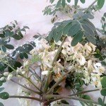 Murungai Keerai Medicinal Uses and Values/Drumstick leaves medicinal uses
