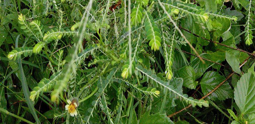 Keezhkainelli herbs
