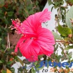 13 Health Benefits of Hibiscus Flower