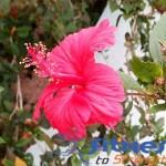 13 Health Benefits of Hibiscus Flower