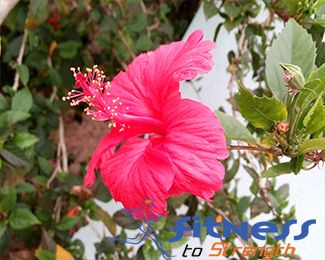 Hibiscus-Flower-small