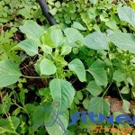 Information about Kuppaimeni Medicinal Uses and health benefits