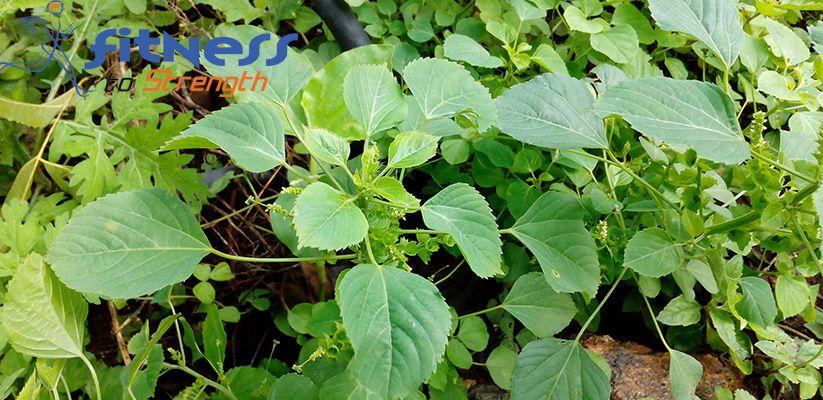 Kuppaimeni-Leaves
