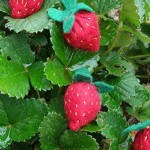 Health Benefits and Uses of Strawberry