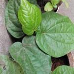 Amazing Medicinal Uses Of Betel Leaf