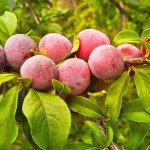 Top Health Benefits of Plums (Aloo Bukhara) Fruit