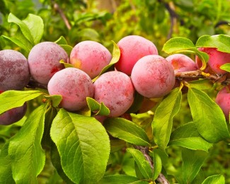 Top Health Benefits of Plums Fruit